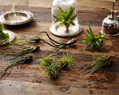 air plants tillandsias mister l Gardenista