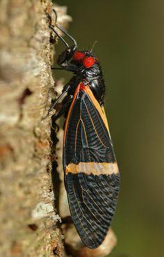 Cicada (Tosena paviei)-- didn't know cicadas could be so colorful!