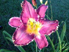 My Daylilies