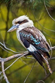 Kookaburra ....... australischer Vogel .... (mein ... - #australian #Australischer #Kookaburra #Mein #Vogel