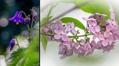 Blomsterfägring i fotograf Maria Bergs trädgård, 2017