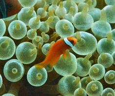 Anemones, Sea Anemones and Tube Anemones,  clownfish and anenomies have a synergic relationship..the anenomies offers a safe haven for the clown, and the clown cleans the anenomies and attracts food..the anenomies is poisonous to most sealift, and humans as well