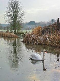 Swan on a frozen canal, Aldridge, Walsall, England  All Original Photography by http://vwcampervan-aldridge.tumblr.com