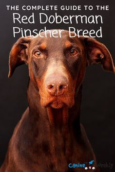 While the Doberman Pinscher is one of the most popular breeds across the Western world, the red variety is less well known. In this guide you will learn about the Red Doberman Pinscher and what you need to know when considering your next furry companion. #reddobermanpinscher #dobermandogs #dogs