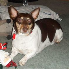 Lost Dog - Rat Terrier - Bucyrus, OH, United States 44820
