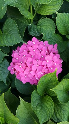 Hortensia Hydrangea, Hydrangea Flower, Pink Flowers, Hydrangeas, Most Beautiful Flowers, Beautiful Birds, 60th Birthday Gifts, Color Blending, Flower Art