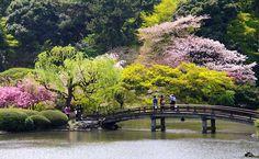 """Los cerezos rosas de Tokio. En la """"sakura"""", primavera, estos árboles lucen su esplendor;fue Tokugawa Yoshimune, el octavo sogún de la dinastía Tokugawa, quien ordenó plantar cien cerezos en el centro d Tokio.A partir de ahí se siguen manteniendoy regenerando el bosque."""