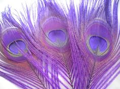 Paarse pauwen veren