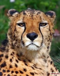 I love the cheetah Zoo Animals, Animals And Pets, Funny Animals, Cute Animals, Wild Animals, Big Cats, Cool Cats, Cats And Kittens, Beautiful Cats