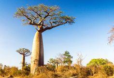 Il baobab può immagazzinare fino a litri d'acqua nel suo tronco African Tree, African Plants, African Savanna Animals, Endangered Plants, Endangered Species, National Geographic Photography, Baobab Tree, Les Continents, Out Of Africa