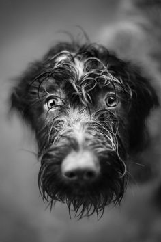 Cheska. WIREHAIRED POINTING GRIFFON. In the rain.                                                                                                                                                                                 Plus