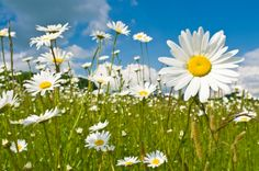 Who knew Daisies would grow in the fall?  10 Flowers to Plant Right Now - Articles :: Networx