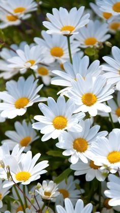 But I, being poor, have only my dreams. I have spread my dreams under your feet; tread softly, because you tread on my dreams.  ~ W. B. Yeats ~ White Daisies