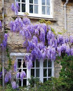 Nice stone building with wisteria