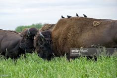 Bison graze on reclaimed land near Syncrude Canada Ltd.'s oil sands facility in Fort McMurray, Alberta, Canada, on Tuesday, June 29, 2010. The Syncrude Project is a joint venture between Canadian Oil Sands Ltd., Imperial Oil Ltd., Mocal Energy Ltd., Murphy Oil Company Ltd., Nexen Inc., China Petrochemical Corp. (Sinopec) and Suncor Energy Inc. Canada's oil sands, a mixture of sand, clay, water and a heavy oil called bitumen, contain the world's second largest proven concentration of crude…