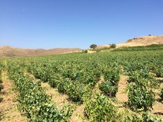 Our visit to Mr Manolis Garalis' vineyard on Sunday, July 24 at Limnos Island, Greece. July 24, Vineyard, Greece, Sunday, Tours, Island, Wine, Adventure, Summer