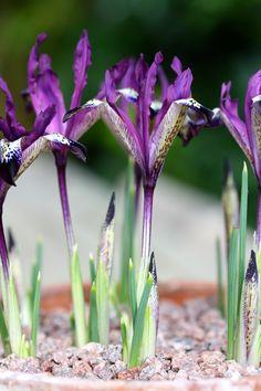Iris reticulata 'Spot On', February The Watch House Unusual Flowers, Unusual Plants, Amazing Flowers, Colorful Flowers, Purple Flowers, Beautiful Flowers, Iris Reticulata, Roof Terrace Design, Candy Flowers