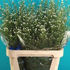 Aster Monte Cassino (also known as September Flower) is a white filler flower. 85cm tall & wholesaled 25 stems per wrap.