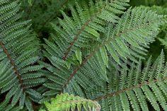 Fill the shady spots of your garden with ferns. Tassel Fern, Container Gardening, Gardening Tips, Reseeding Lawn, Ferns Garden, Garden Art, Garden Ideas, Fern Frond, Fall Containers