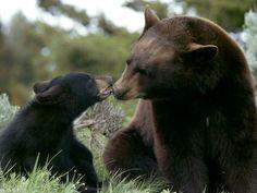 mama and baby black bears