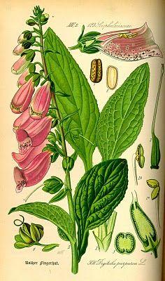 Vintage Ephemera: Foxglove, Digitalis purpurea, botanical plate - 1885