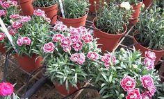 Garofanini, propagazione e cure per ottenere una fioritura più abbondante. La moltiplicazione del garofano e dei garofanini.