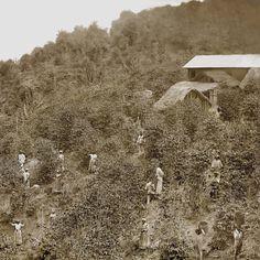 Colheita de café, Vale do Paraíba, c. 1882