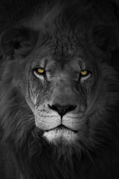 Portrait of a lion by Marc McDermott on Flickr
