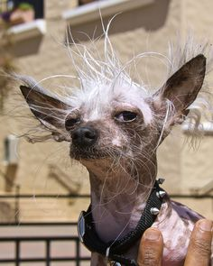 Ugliest Dog Contest Winner