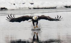 Beloit has eagles on the riverfront!  www.visitbeloit.com