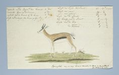 Robert Jacob Gordon   Springbok (Antidorcas marsupialis), Robert Jacob Gordon, 1774 - 1786  