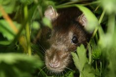 La promenade des rats Les Rats, Ferret, Animals, Dumbo Rat, Parakeet, Ride Or Die, Animales, Animaux, Ferrets