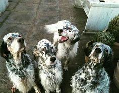 The third from the left English Setter Puppies, Animals And Pets, Cute Animals, Labrador, Border Collie Puppies, Dogs Of The World, Big Dogs, Mans Best Friend, Dog Love