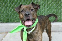 SAMSON aka PYRO - A1087796 - - Brooklyn  Please Share:TO BE DESTROYED 09/13/16**AVERAGE HOME RATED!**A volunteer writes: What's adorable, petite as a peanut, and brindled all over (me)? Why, it's Samson! 2 year-old Samson came to us as a stray after being found wandering alone at a dog park. As heartbreaking as it is for us to imagine this beautiful boy suddenly looking up to realize he had been left behind, Samson himself shows no signs of dwelling in that past