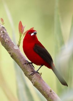Tiê-sangue - Brazilian Tanager