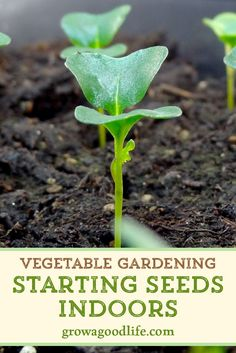 How to Start Vegetable Garden Seedlings Indoors Growing your own vegetable garden transplants offers more flexibly and control over your garden allowing you to pick your. Garden Types, Organic Vegetables, Growing Vegetables, Growing Plants, Gardening For Beginners, Gardening Tips, Gardening Supplies, Gardening Books, Flower Gardening