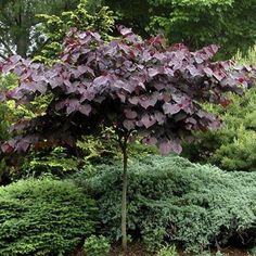 PlantFiles Pictures: Eastern Redbud, Canadian Redbud, Judas Tree 'Forest Pansy' (Cercis canadensis) by Garden Trees, Flowers Garden, Trees To Plant, Garden Plants, Planting Flowers, Small Trees For Garden, Sun Garden, Forest Garden, Summer Garden