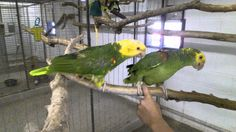 Yellow headed Amazon learning trust at the Willow Park Zoo in Logan Utah