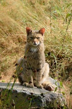 Wildkatze heimlich unter uns by Mimas Baggins                                                                                                                                                                                 Mehr