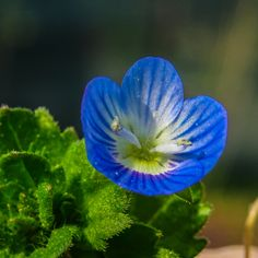 the little blue flower by George Serbu Display Advertising, Print Advertising, Marketing And Advertising, Blue Flower Photos, Blue Flowers, Green Nature, Spring Green, Us Images, Wall Art Prints