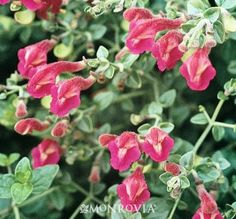 """Texas Rose Skullcap (Scutellaria suffrutescens 'Texas Rose') - compact 4"""" x 18"""" wide; red blooms in summer."""