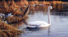 Artist James Hautman Unframed Bird Print Spring Thaw-Trumpeter Swan | WildlifePrints.com