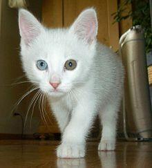 Mačka domáca – Wikipédia