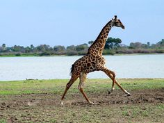 giraffe pictures | ... the nubian giraffe was the most endangered of all the giraffes in 2010