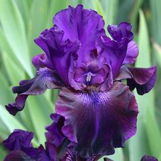 TB Iris germanica 'Fear Factor' (Hedgecock, 2004)
