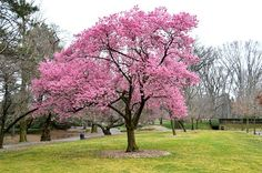 Brooklyn Botanic Garden's Cherry Blossom Trees Will Have Peaked Before Annual Fest