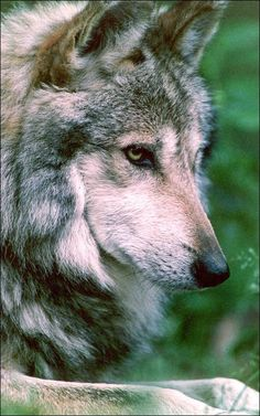 Mexican gray wolf « Howling For Justice