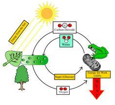 3)Living Things Use Energy