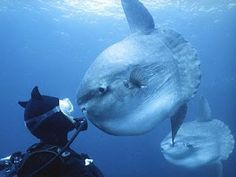 delectable comestibles: Ocean Sunfish