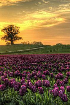 Naturbild; Beautiful purple tulips